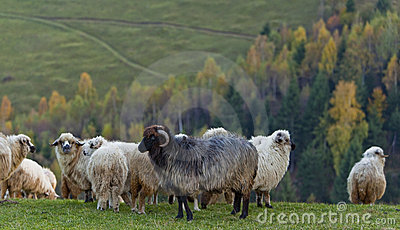 Sheep in the mountains in autumn