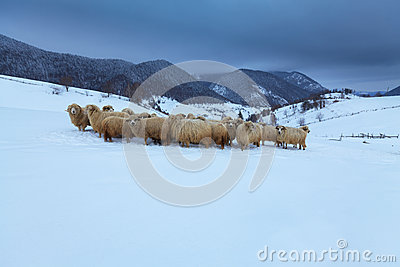 Sheep in the mountains in winter