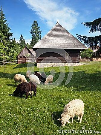 Sheep near folk house in Pribylina