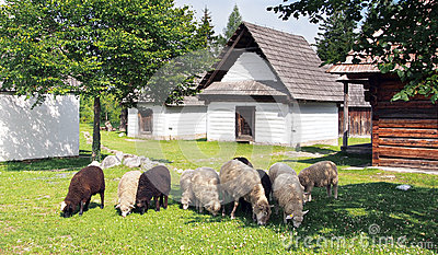 Sheep near folk houses Editorial Photography