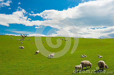 Sheep in the New Zealand