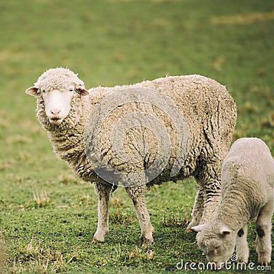 Free Sheep On The Farm Stock Image - 77128201