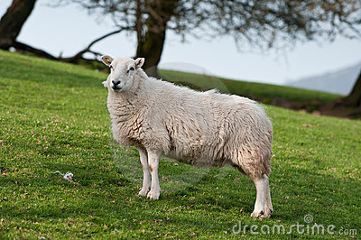 Sheep (Ovis aries) on Welsh Hillside