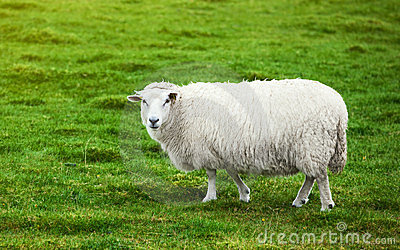 Sheep on pasture