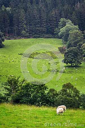 Sheep on pasture in mountain