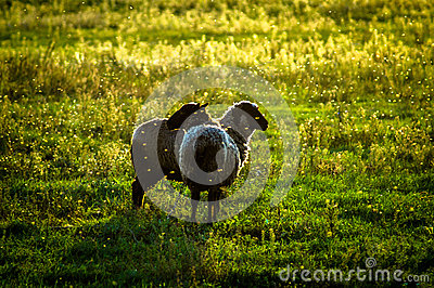Sheep on pasture at sunset. Stock Photo