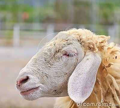 Sheep portrait