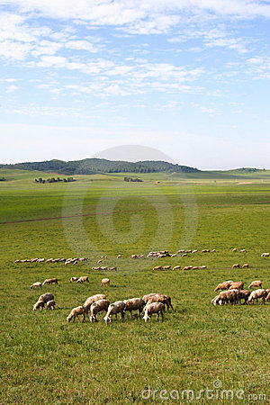 Sheep in prairie