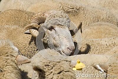 Sheep-ram