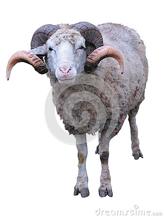 Free Sheep Ram With Horns Over Green Grass Stock Photo - 30185250