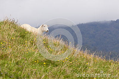 Sheep resting on rich fertile pasture hillside