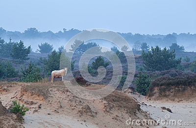 Sheep on sand dune in misty morning