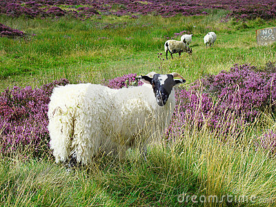 Sheep (Scottish highlands)