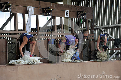 Sheep shearing contest Editorial Photo