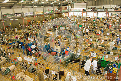 Sheep shed at the Royal Welsh Show Editorial Stock Photo