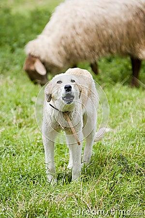 Sheep sheperd