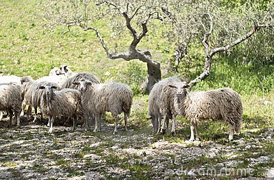 Sheep on the sicilian farm