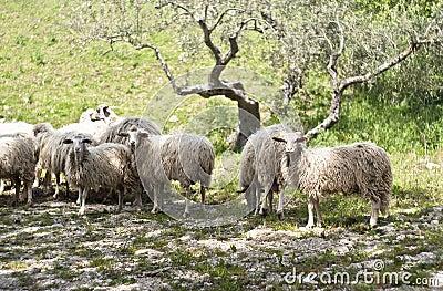 Sheep on the sicilian farm