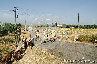 Sheep in Sicily