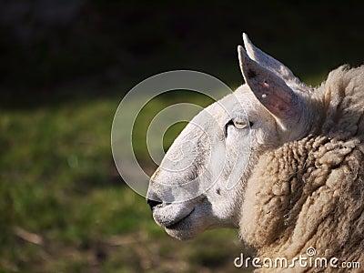 Sheep Side On