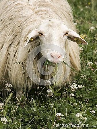 Sheep staring at the camera