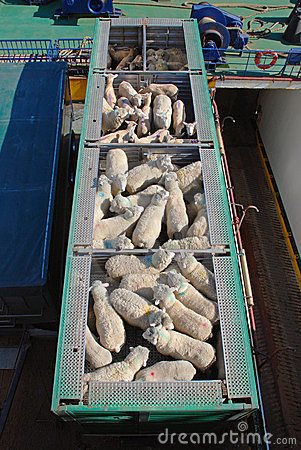 Free Sheep Transportation Stock Photography - 24081722