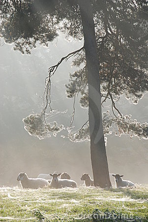 Free Sheep Under Tree In Morning Mist Stock Photos - 4100653