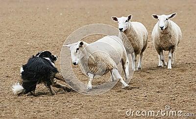 Sheep vs Dog