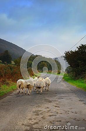 Sheep walking on road