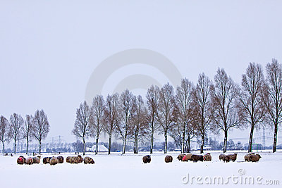 Sheep in a white winter landscape