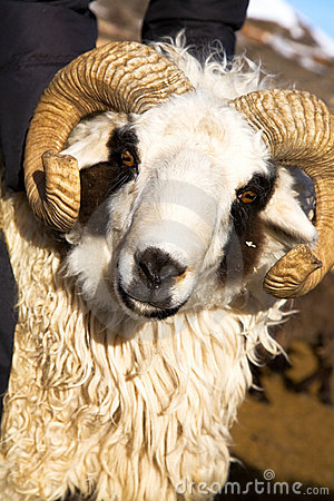 Free Sheep With Horns Royalty Free Stock Image - 11904896