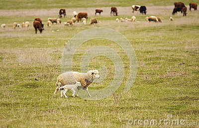Sheep with yeanling