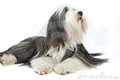 Sheepdog in front of a white