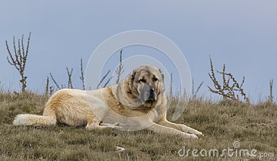 Sheepdog laying on the ground Stock Photo