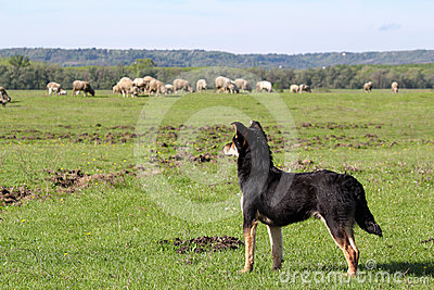 Sheepdog with herd of sheep