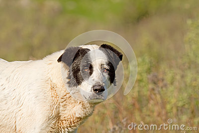 Sheepdog Looking