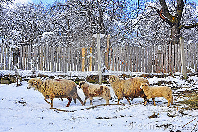 Sheepfold in winter farm