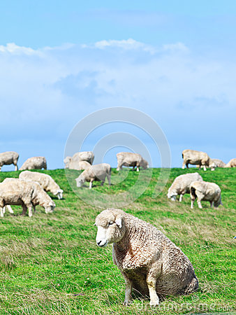 Free Sheeps Royalty Free Stock Images - 24930819