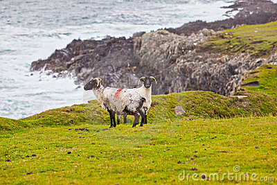 Sheeps at Achill Island, Ireland