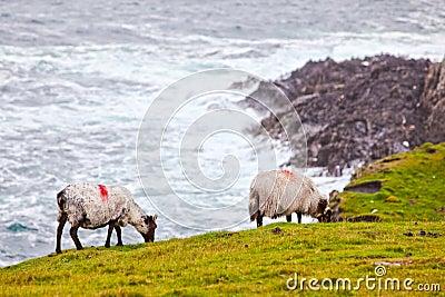 Sheeps at Achill Island, Ireland