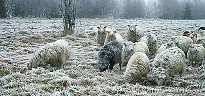 Sheeps by beginning of winter