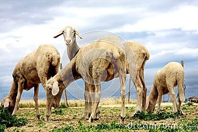 Sheeps browsing fresh gras