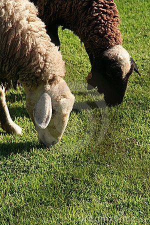 Sheeps eating Grass