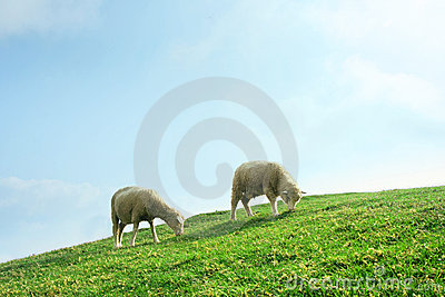 Sheeps in the Field