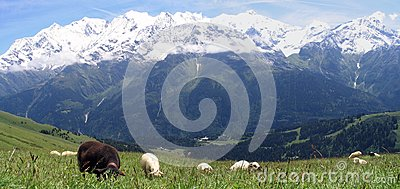 Sheeps in French Alpes mountains