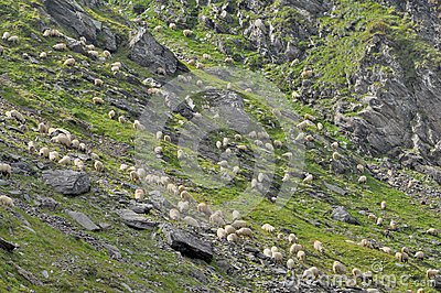 Sheeps grazing grass between mountain rocks