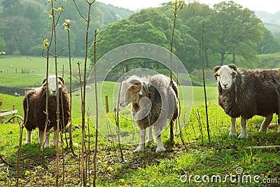 Sheeps in green field.