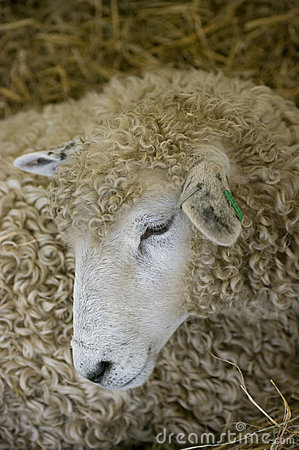 Free Sheeps Head Royalty Free Stock Photo - 15043735