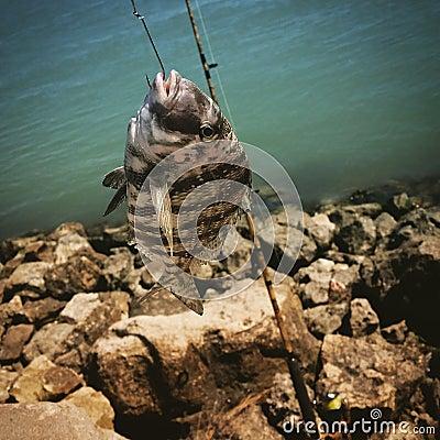 Free Sheeps Head Fishing Stock Images - 52619464