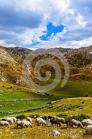 Free Sheeps In National Mountains Park Durmitor - Montenegro Royalty Free Stock Images - 65741489